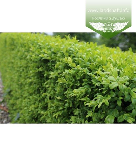 Buxus sempervirens, Самшит вічнозелений листя