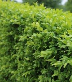 Buxus sempervirens Самшит вечнозеленый листья