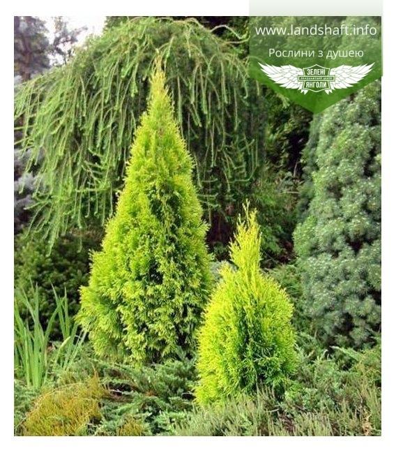 Thuja occidentalis 'Golden Smaragd', Туя західна 'Голден Смарагд' в ландшафтному дизайні