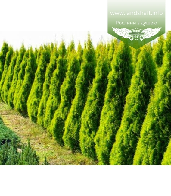 Thuja occidentalis 'Golden Smaragd', Туя західна 'Голден Смарагд' живопліт