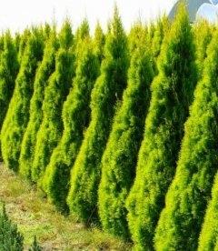 Thuja occidentalis 'Golden Smaragd' Туя западная Голден Смарагд живая изгородь