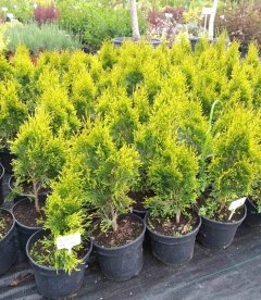 Thuja occidentalis 'Golden Smaragd', Туя західна 'Голден Смарагд' саджанці в контейнері 2 л