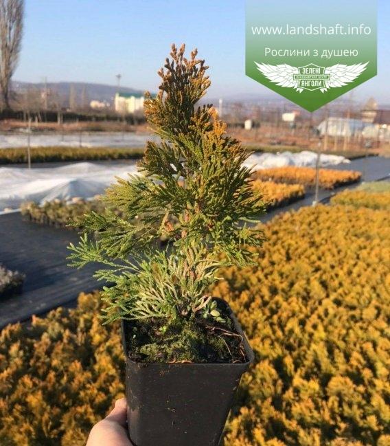 Thuja occidentalis 'Golden Smaragd' Туя западная Голден Смарагд саженцы в контейнере p9 зимний вид