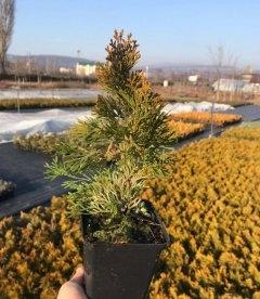 Thuja occidentalis 'Golden Smaragd', Туя західна 'Голден Смарагд' саджанці в контейнері p9 зимовий вигляд