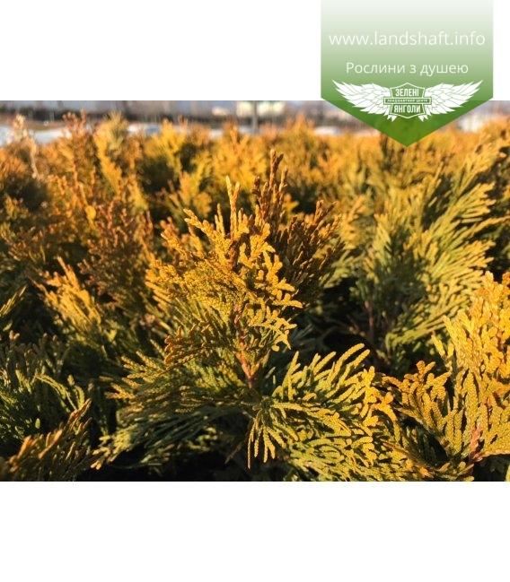 Thuja occidentalis 'Golden Smaragd' Туя западная Голден Смарагд саженцы в контейнере зимняя хвоя