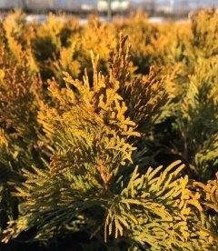 Thuja occidentalis 'Golden Smaragd', Туя західна 'Голден Смарагд' зимова хвоя