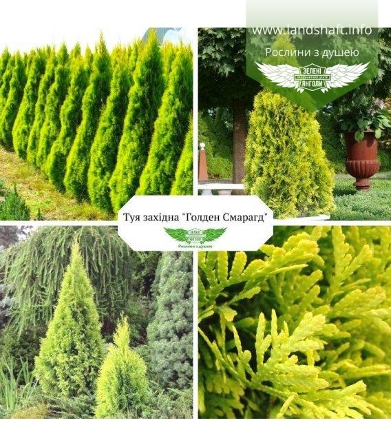 Thuja occidentalis 'Golden Smaragd' Туя западная Голден Смарагд купить в питомнике оптом или в розницу