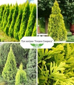 Thuja occidentalis 'Golden Smaragd', Туя західна 'Голден Смарагд' купити в розсаднику гуртом чи в роздріб