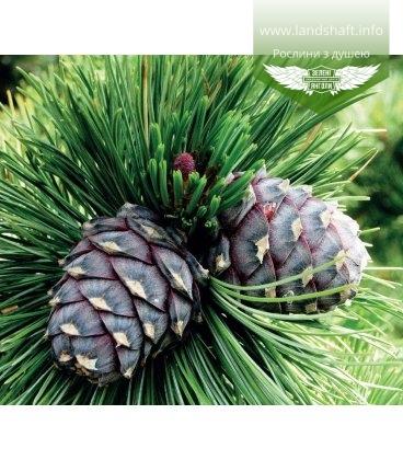 Насіння Pinus cembra, Сосна кедрова, 10+2 шт в подарунок