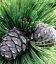 Семена Pinus cembra, Сосна кедровая, 10+2 шт в подарок