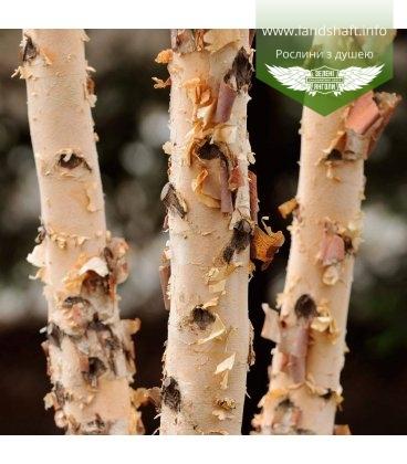 Насіння Betula nigra, Береза чорна, 10+2 шт в подарунок
