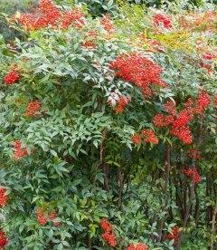 Семена Betula nigra, Береза черная, 10+2 шт в подарок