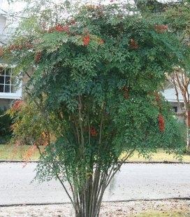 Насіння Nandina domestica, Нандіна домашня, 10+2 шт в подарунок