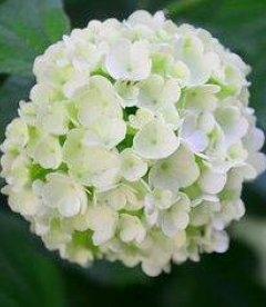 Калина обыкновенная Розеум/Бельденеж соцветие, снежный шар