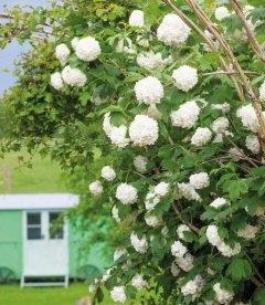 Калина обыкновенная Розеум/Бельденеж - куст щедро усыпан белыми соцветиями