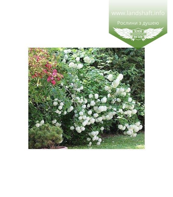 Viburnum opulus 'Roseum/Boulle-de-neig', Калина червона 'Розеум/Бульденеж',