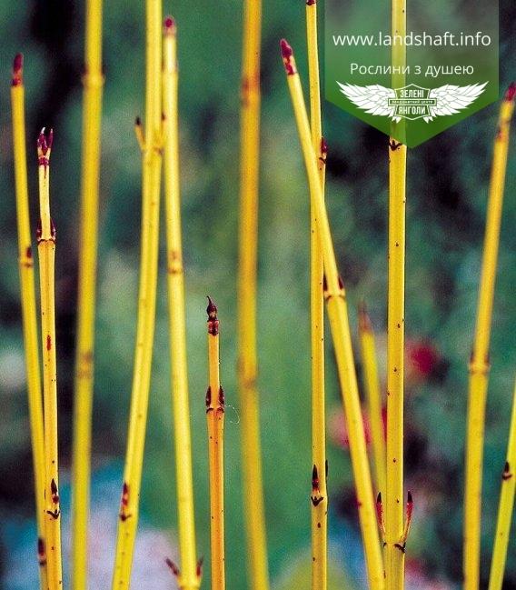 Дерен шовковистий 'Флавірамеа' - жовті пагони взимку