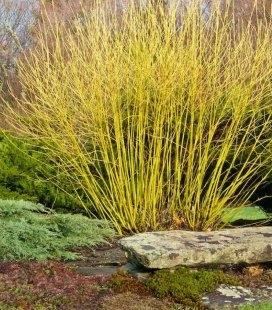 Дерен отпрысковый Флавирамеа - желтые ветки зимой