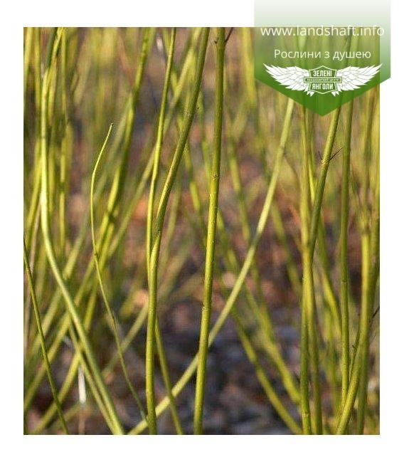 Дерен шовковистий 'Флавірамеа' - купити саджанці в розсаднику рослин