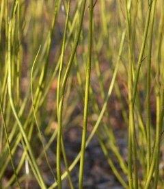 Дерен отпрысковый Флавирамеа - купить саженцы в питомнике растений