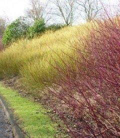 Дерен отпрысковый Флавирамеа - живая изгородь