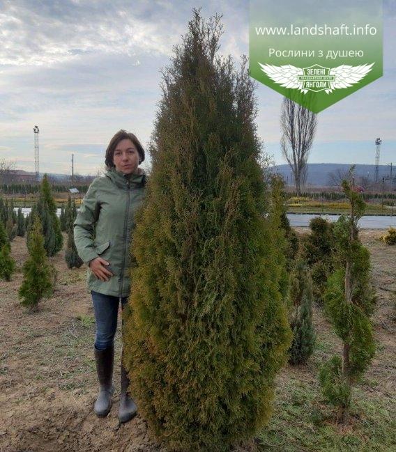 Туя західна 'Ерікоідес' - купити в розсаднику рослин, висота 2 м