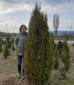 Туя западная Эрикоидес - купить в питомнике растений, высота 2 м