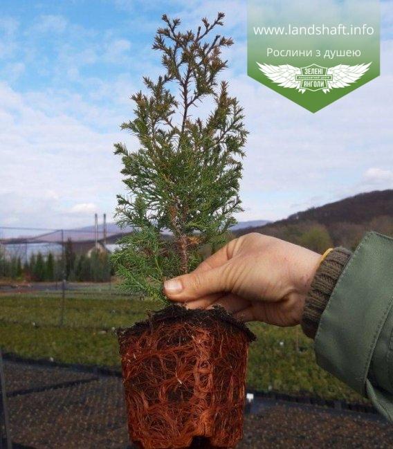 Туя західна 'Ерікоідес' - купити в розсаднику рослин, контейнеp p9