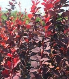 Барбарис Тунберга 'Хот Чоклет' темно-бордовые, шоколадные листья