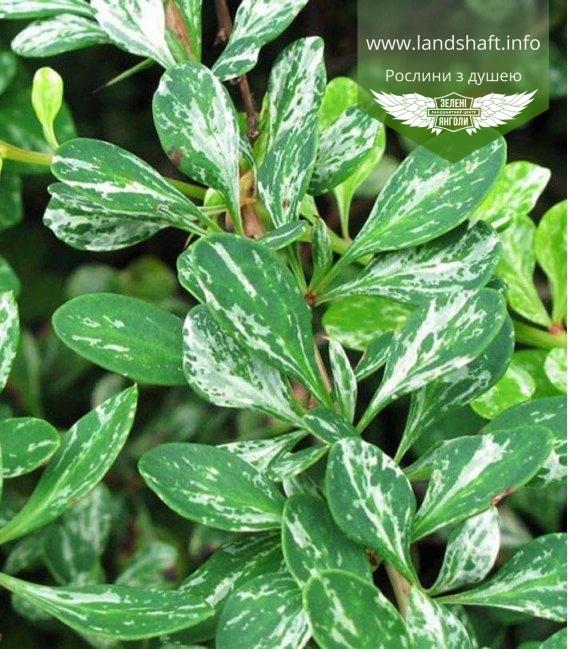 Барбарис Тунберга Поввов (Паувау) - зеленые листья с белыми вкраплениями, разводами