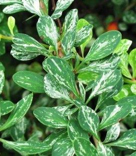 Барбарис Тунберга 'Поввов' - зелене листя з білими цятками