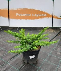 Барбарис Тунберга 'Смарагд' в горшке - купить в питомнике растений с доставкой по Украине