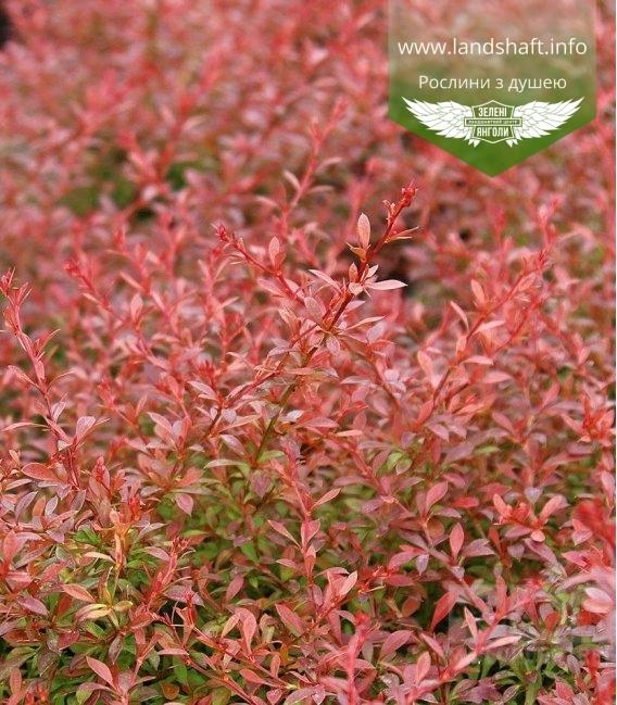 Барбарис Тунберга 'Оранж Дрім' - помаранчеве, червоне листя