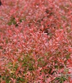 Барбарис Тунберга Оранж Дрим - оранжевые, красные листья