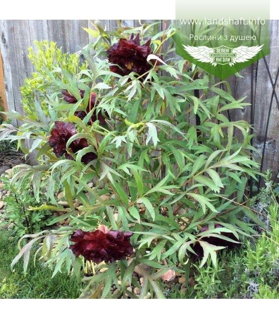 Paeonia suffruticosa 'Hei Bao/Black Panther', Пион древовидный