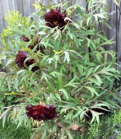 Paeonia suffruticosa 'Hei Bao/Black Panther', Півонія деревовидна