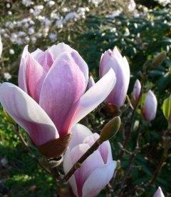 Magnolia x soulangeana 'Satisfaction', Магнолія Суланжа 'Сатісфекшн'