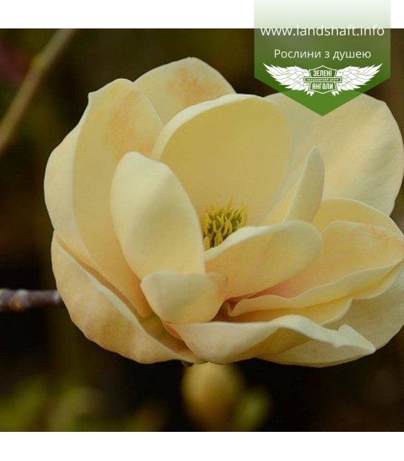 Magnolia 'Honey Tulip', Магнолія 'Хані Туліп'