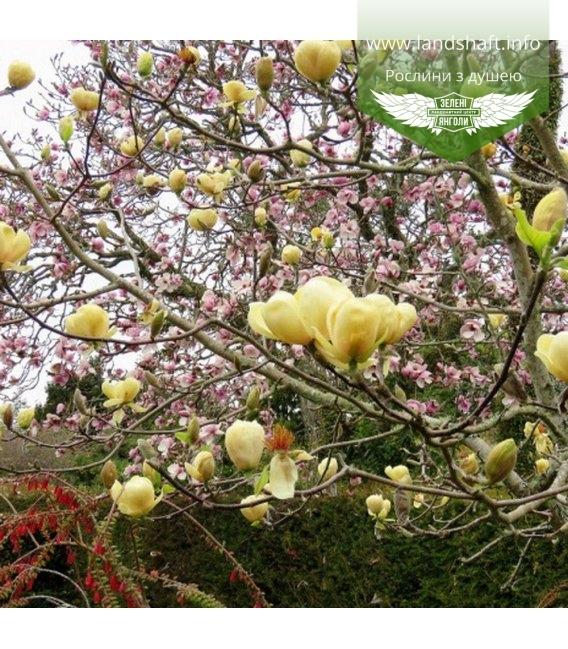 Magnolia 'Honey Tulip', Магнолия 'Ханиі Тулип'