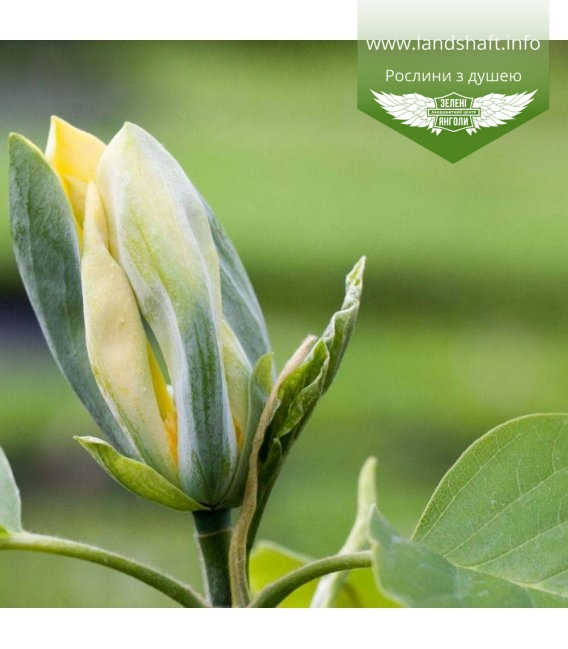 Magnolia acuminata 'Blue Opal', Магнолія загострена 'Блу Опал'