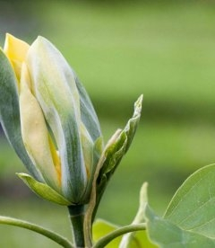 Magnolia acuminata 'Blue Opal', Магнолия заостренная 'Блю Тюлип'