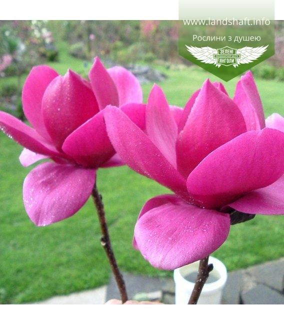 Magnolia x soulangeana 'Cleopatra', Магнолія Суланжа 'Клеопатра'