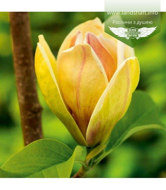 Magnolia hybrida 'Sunsation', Магнолія гібридна 'Сансейшн'
