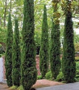 Насіння Cupressus sempervirens 'Stricta', Кипарис вічнозелений 'Стрікта', 10+2 шт в подарунок
