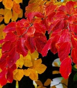 Насіння Parrotia persica, Паротія перська, 10+2 шт в подарунок