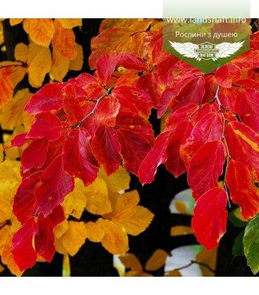 Семена Parrotia persica, Парротия персидская, 10+2 шт в подарок