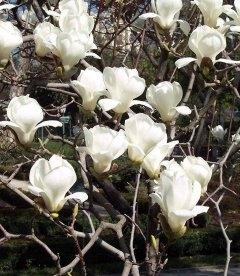 Насіння Magnolia denudata, Магнолія гола, 10+2 шт в подарунок