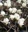 Семена Magnolia denudata, Магнолия обнаженная, 10+2 шт в подарок