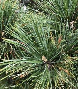 Насіння Pinus peuce, Сосна балканська, 10+2 шт в подарунок
