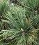 Семена Pinus peuce, Сосна балканская, 10+2 шт в подарок